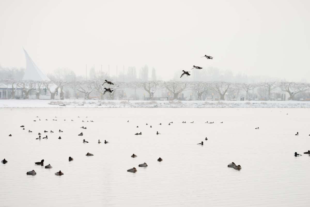 Enten im Anflug bei Radolfzell am Bodensee. Mole im Hintergrund und Konzertsegel